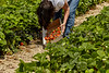 Senior Woman picking Strawberries in a Strawberry Field