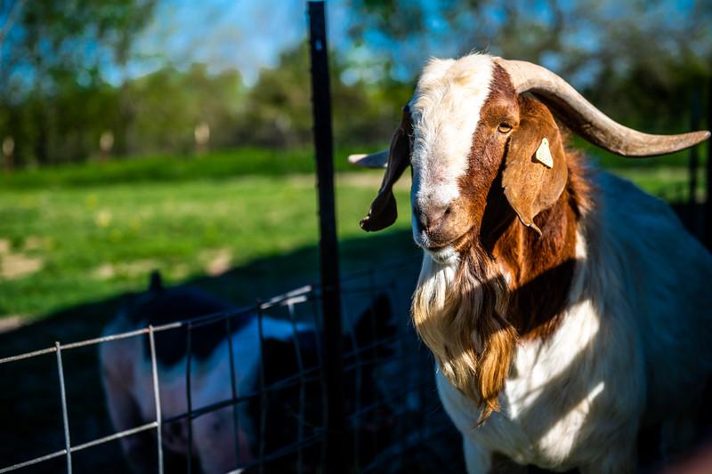 M21064- Ag Farm Animals -7603