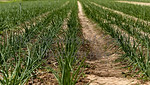 Rows of Green Onions growing in the Ground