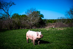 M21064- Ag Farm Animals -7548