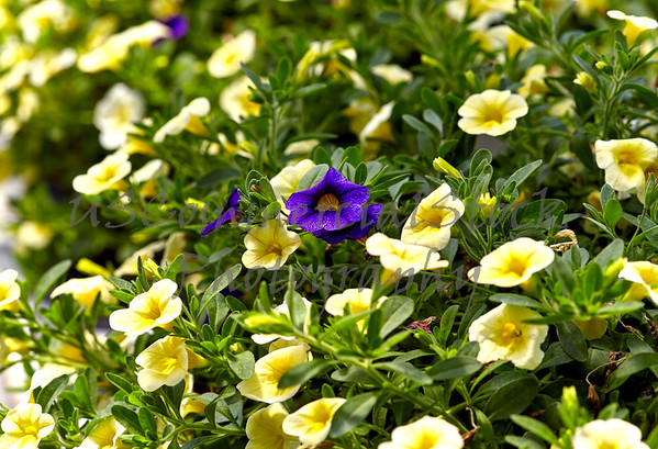 Garden Bed of Yellow Petunias with Several Purple Ones