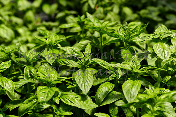 Basil Plants in a Garden