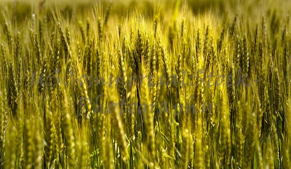 Close up of Wheat Stalks