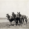 Three horse team drawing a walking plow on the Franklin Farm, early 1900's in the town of Ledyard, NY. (Photo ID: 34482)