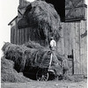 Putting hay in the barn. (Photo ID: 29669)