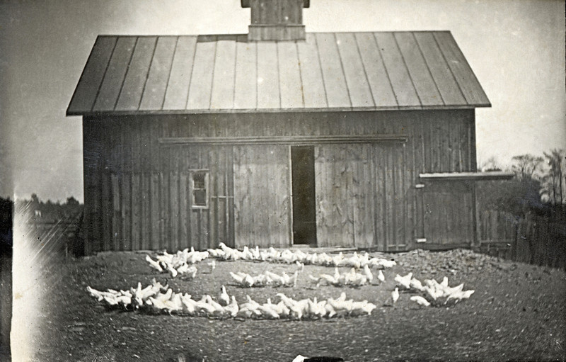 """The farmer sprinkled the feed in the letter """"S"""". (Photo ID: 28137)"""