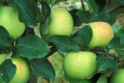 Green apples growing on tree.