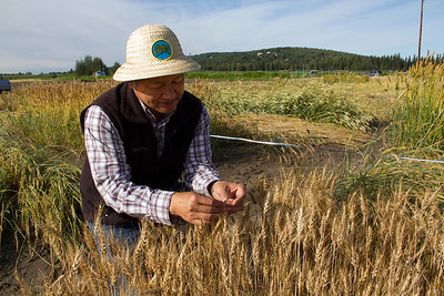 Wheat variety trials at the UAF Experiment Farm