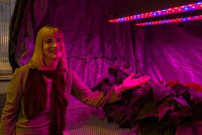 LED light research on Poinsettas
