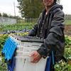 Refugee gardener in Anchorage community garden.