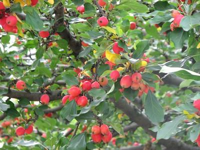 Crabapple tree