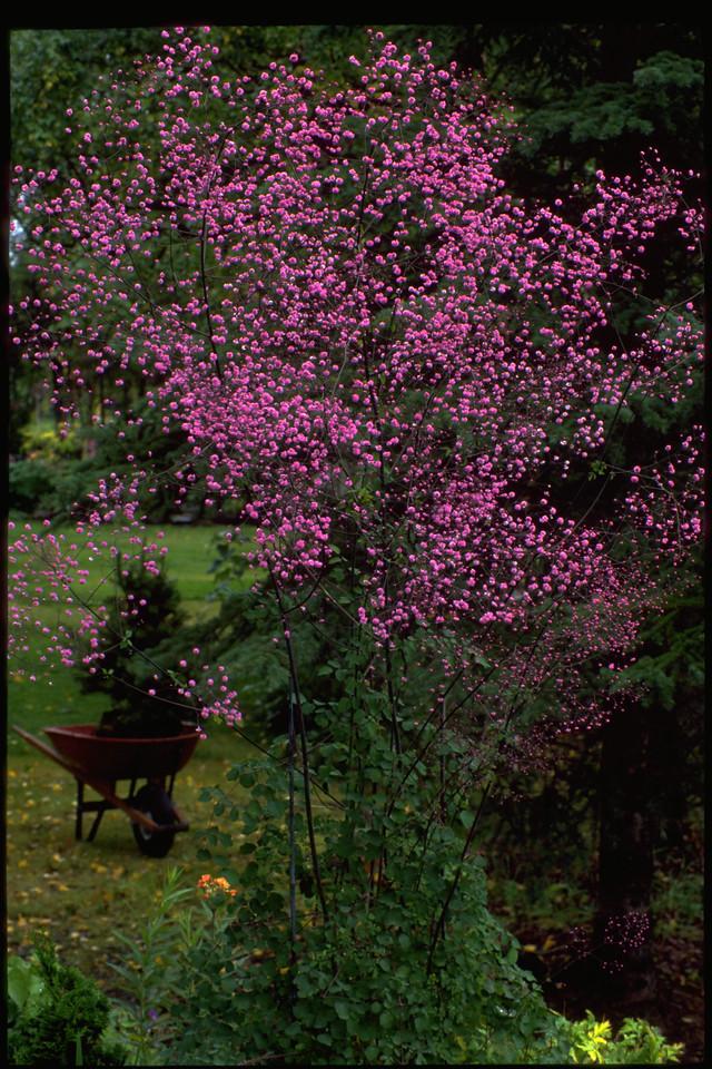 flowers in a garden with wheelbarrow in background