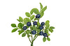 Blueberries and leaves on white background