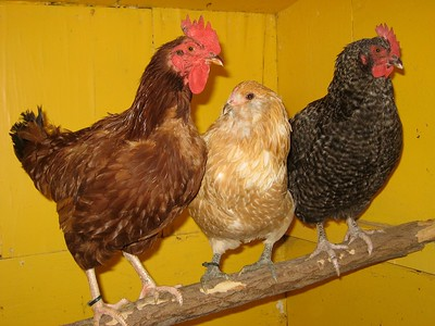 Chickens in a a coop