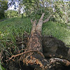 Weak-rooted gliricidia tree (started from a cutting), easily blown over in strong wind.