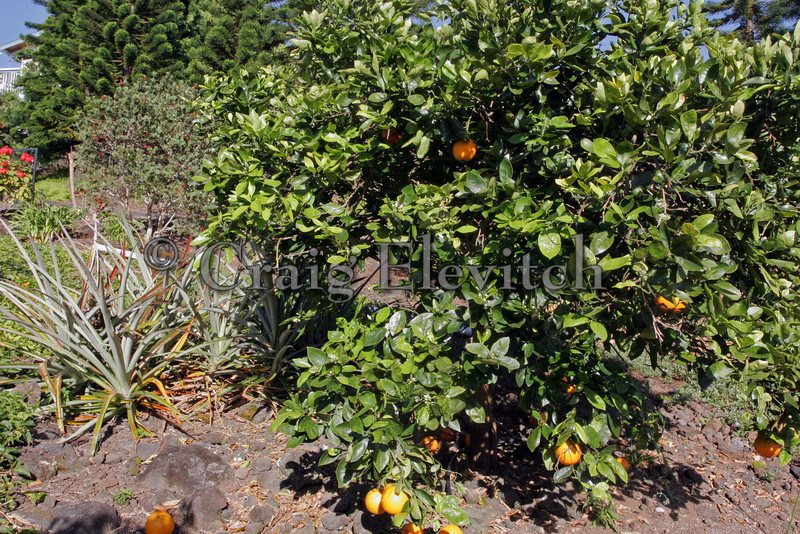 Pineapples planted here and there among citrus trees in a home orchard.
