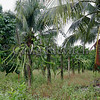 Interplanted commercial crops of langsat, dragon fruit (on concrete pillars), and coconut.