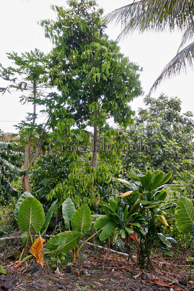 Staple crops and fruit trees planted within coffee orchard.
