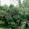 Mixed commercial orchard of rambutan, mangosteen, and salak.
