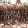 Exposed root system of Casuarina equisetifolia on eroding slope.