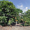 When establishing an fruit orchard that takes several years to begin bearing, crops that begin bearing within a year such as papaya (as shown here) can be grown between the main fruit trees to provide an early yield.