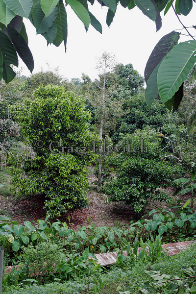 Mixed planting of fruit trees with taro planted in the gully.