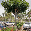 Tropical almond tree pollarded in a parking area.