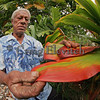 Farmer with ti plant, a useful plant planted among his fruit trees.