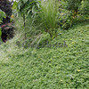 Perennial ground cover and vetiver for erosion control on slope.
