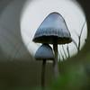 Fairy inkcaps - Coprinellus disseminatus