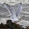 Herring Gull at Chanonry Point