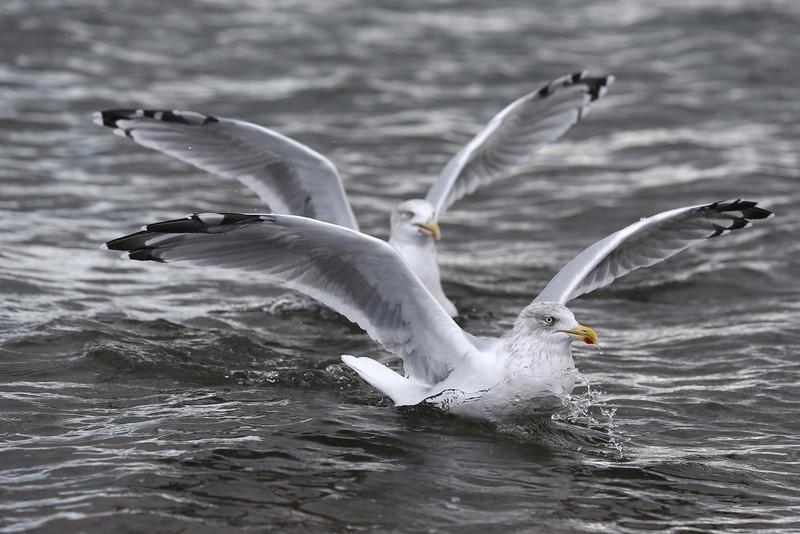 Herring Gulls at Chanonry Point