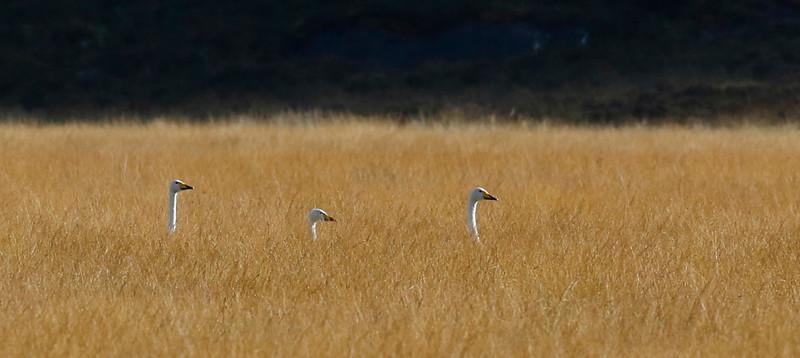 Bewick's swans in a cornfield