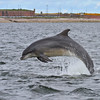 Bottlenose Dolphin at Chanonry Point
