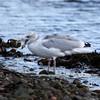 Herring Gull at Chanonry Point
