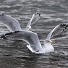 Herring Gulls at Chanonry Point