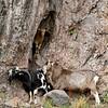 Feral goats