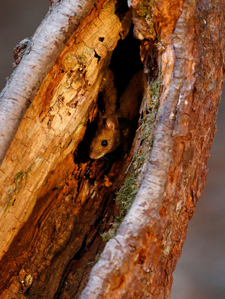 A cheeky mouse after the bait left for the Pine marten