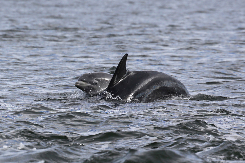 Bottlenose Dolphin and young at Chanonry Point