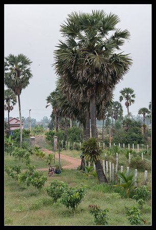 Récolte du sucre de palme
