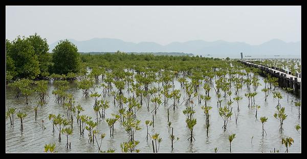 Mangrove et palétuviers