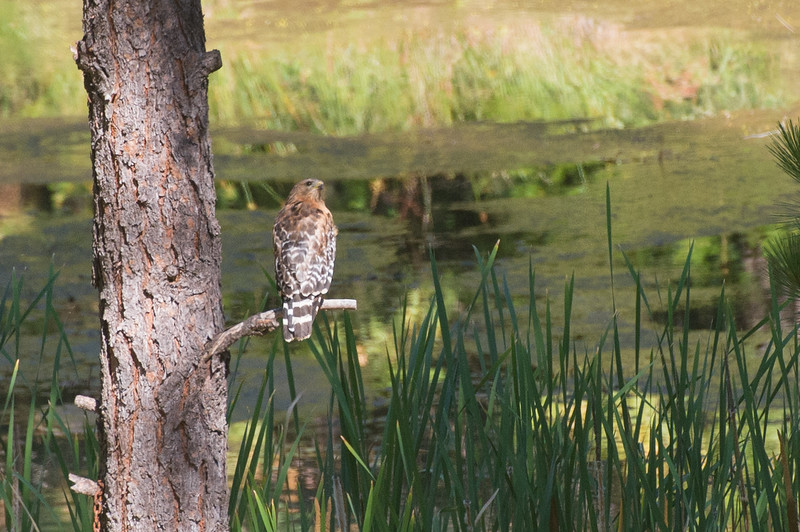 Even the pond hawk was taking notice of what was going on in the air.