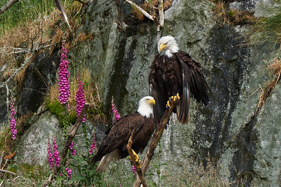 Bald Eagles and Foxglove