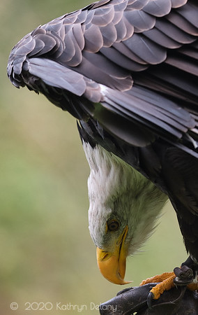 Close up of a Bald Eagle