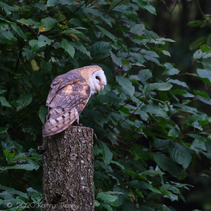 Barn Owl in the Woods