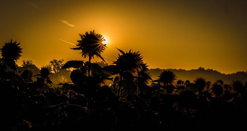 Grinter Farms Sunflower Field (2015)