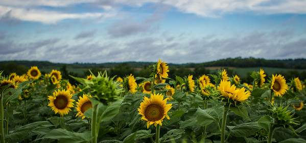 Sunflower Field-Grinter Farms Lawrence KS