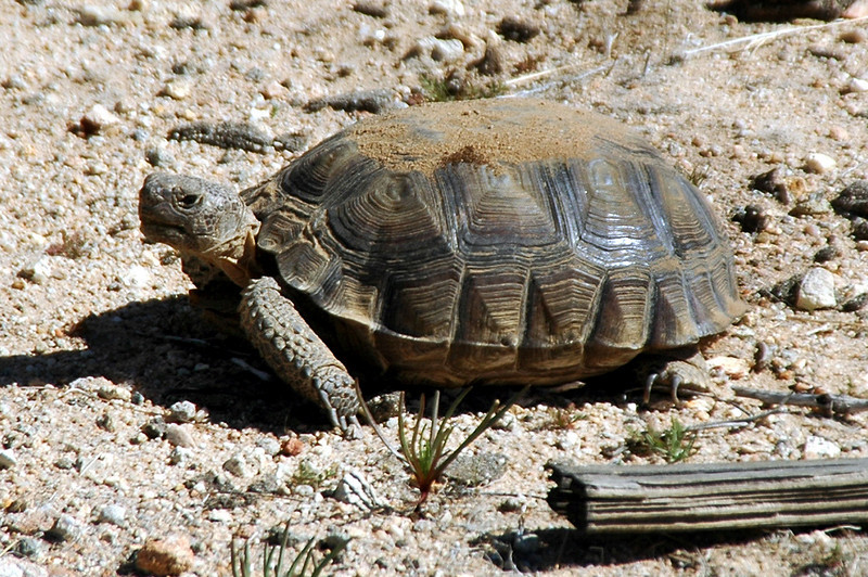 While driving north from the runway, I saw this desert tortoise next to the road. Looks like he just came out of hibernation, there's still dirt on his back from the burrow.
