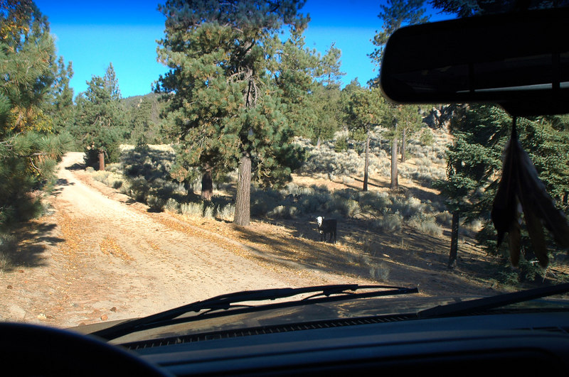 A short time after entering the Sequoia National Forest I came upon a few cows by the side of the road.