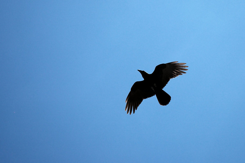 One of the five ravens that were watching me for half an hour before they flew away.
